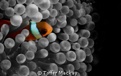 Juvenile Anemone Fish, simple photoshopping changing the ... by Toffer Mackay 